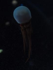 Rhopilema esculenta (looked like an alien to me)